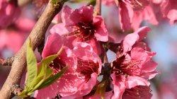 Fira Baronia d'Aitona, terra de flors i fruita dolça